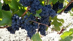 pinot vine