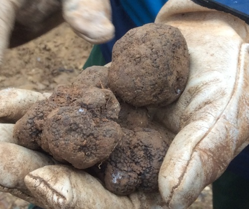 Truffles in the Seacastilla Vineyard in Somontano, Spain