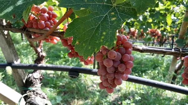 Ripe Gewurztraminer in Alto Adige, photo by Hayley Hamilton Cogill