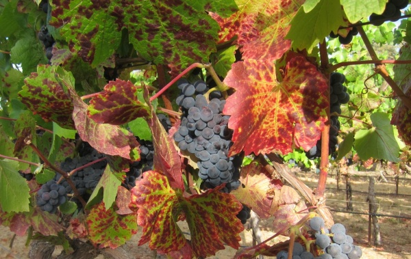 Pinot Noir just before harvest; all photos by Hayley Hamilton Cogill
