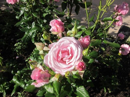 Margrit Mondavi roses